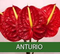 anturio